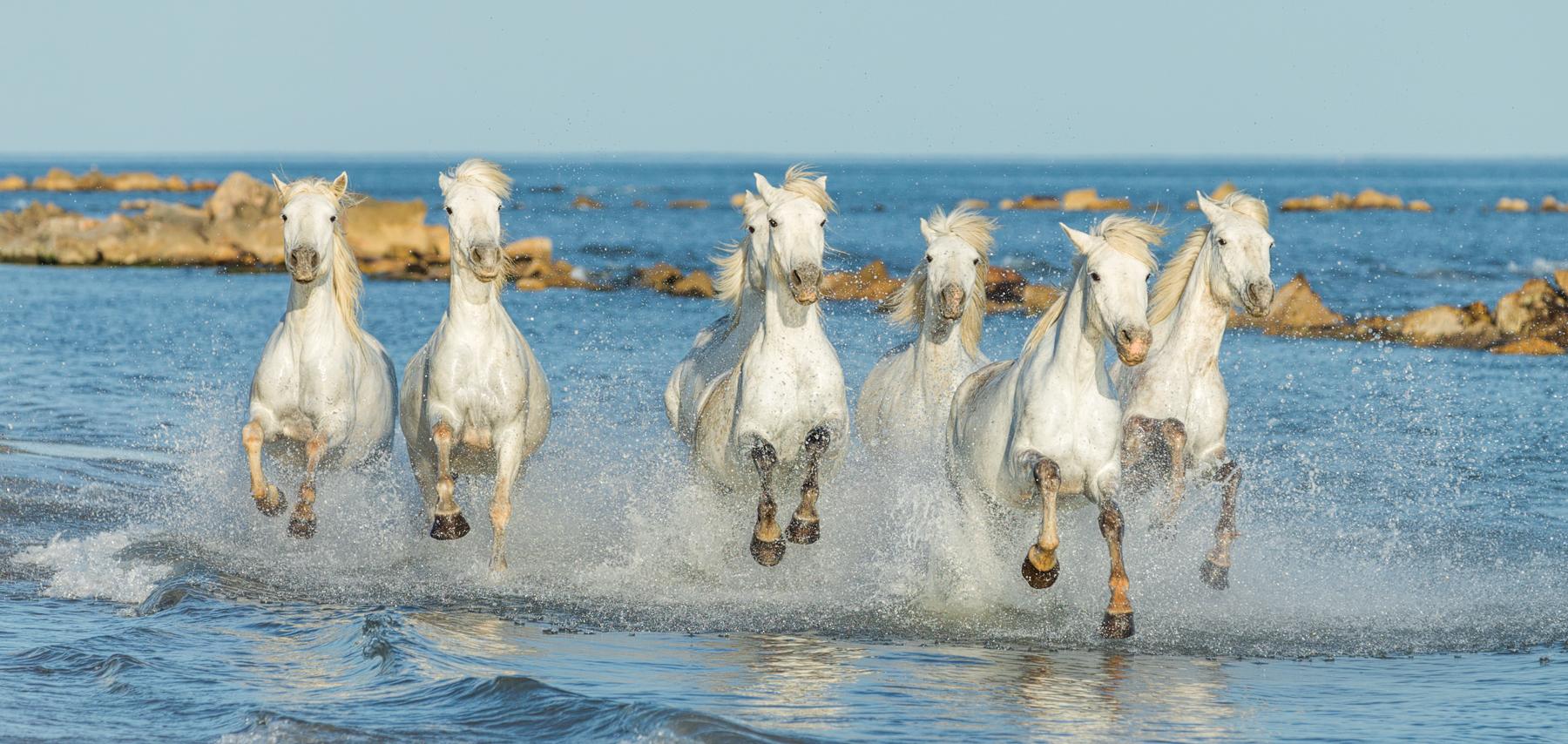 Weiße Pferde rennen durch das Wasser