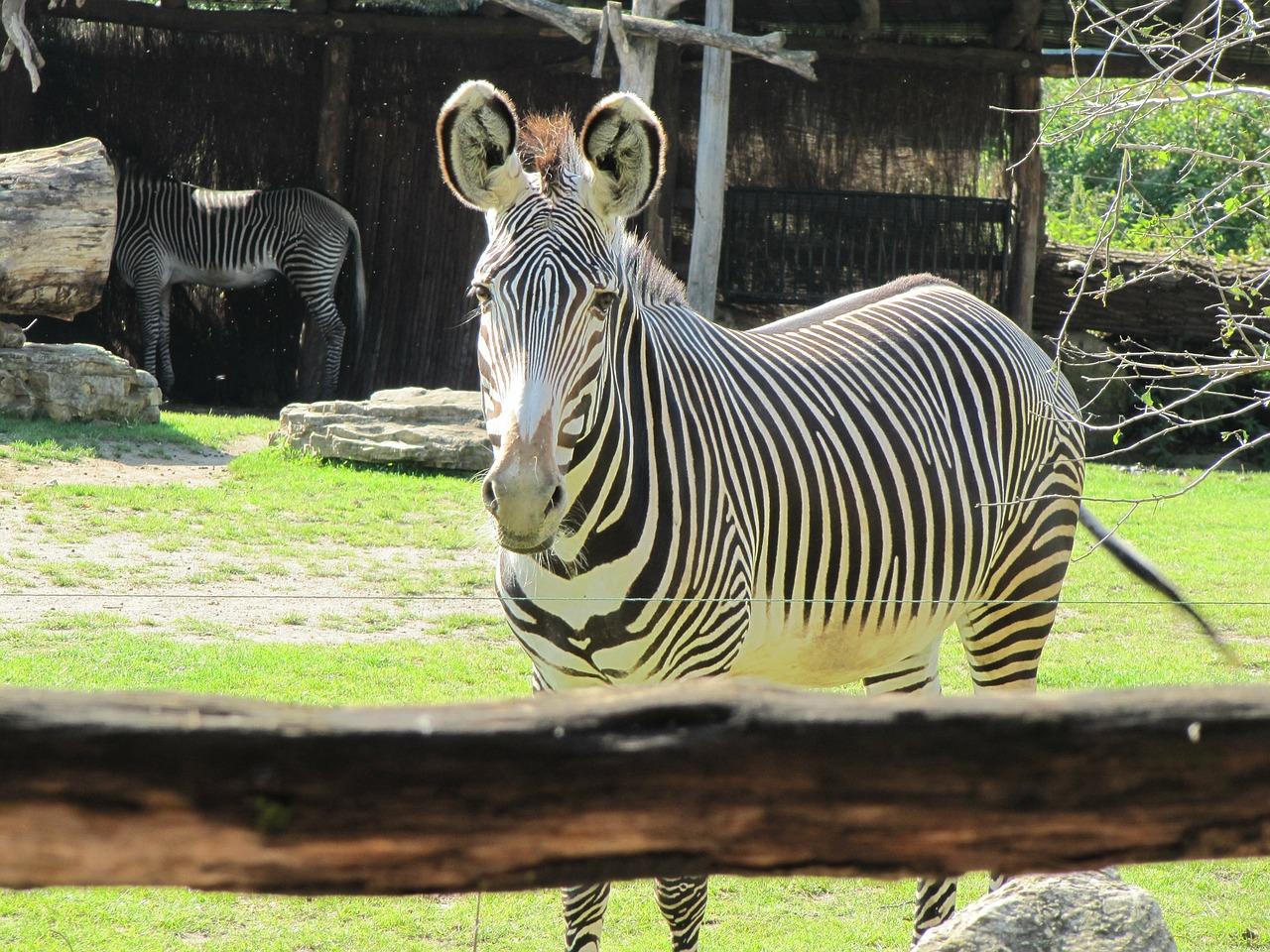 Zebra im Leipziger Zoo.
