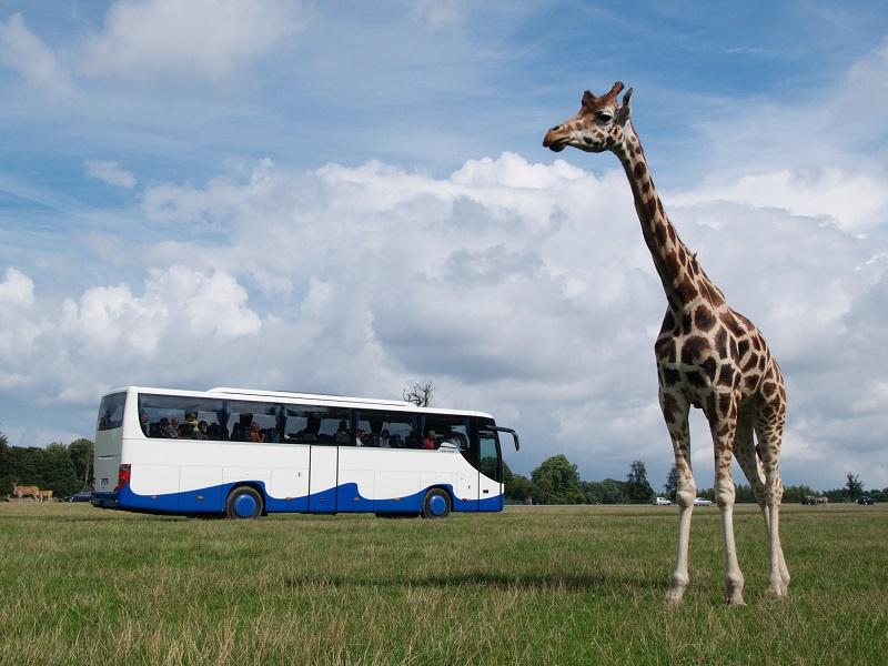 Giraffe steht vor UBB Bus