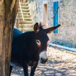 Ein Esel in den Straßen von Kroatien