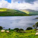 Schafe grasen auf den Wiesen vor dem Loch Na Fooey