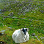 Schaf liegt in der hügeligen Wiese Irlands