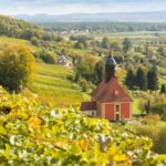Blühende Weinreben in Pillnitz